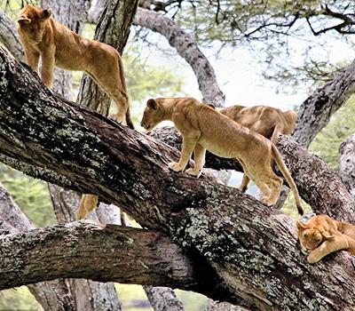 lion-on-trees-lake-manyara