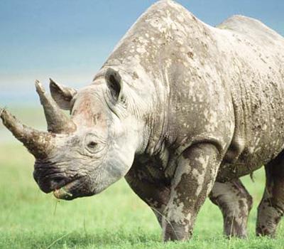 rhino-ngorongoro