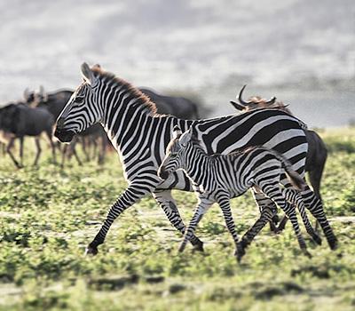 zebra-serengeti
